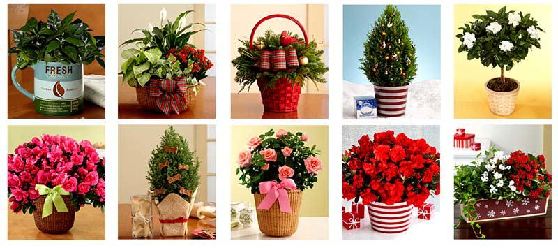 Jakie rośliny najlepiej sprawdzą się jako świąteczne dekoracje domu?