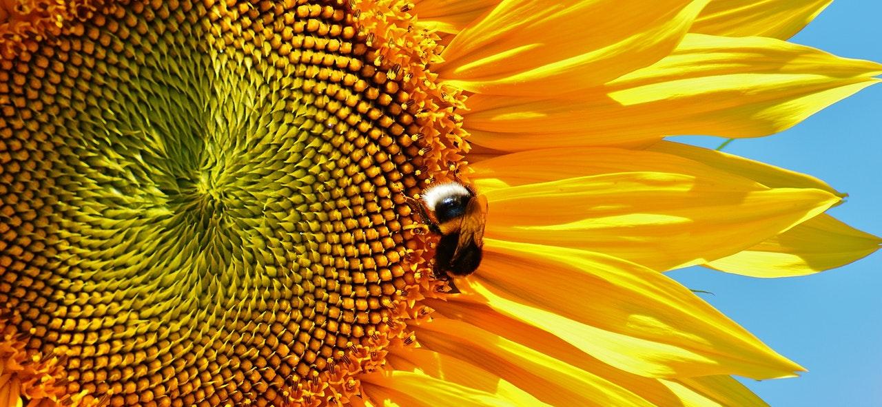 sun-flower-hummel-summer-garden-162353