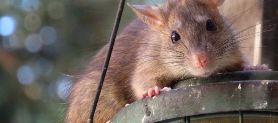 Szczury – gdzie jest ich najwięcej i jak sobie z nimi radzić?